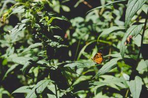 Maca: Histoire, composition et dosages